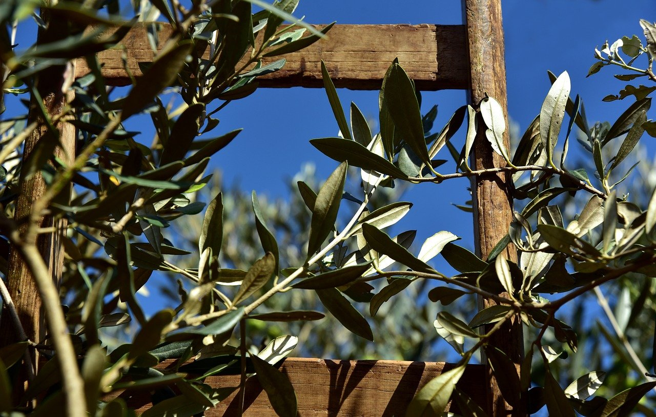 olive trees greece