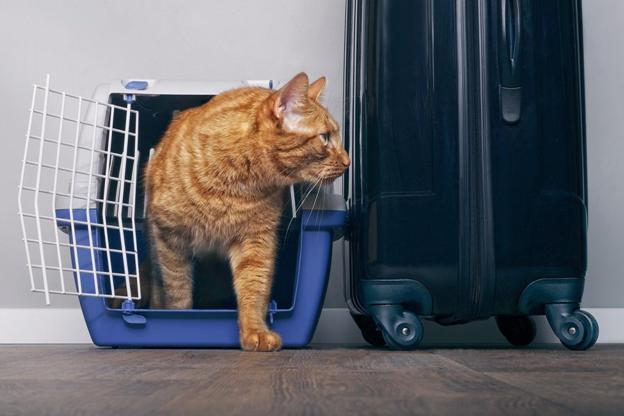 Cat in a career traveling with a pet