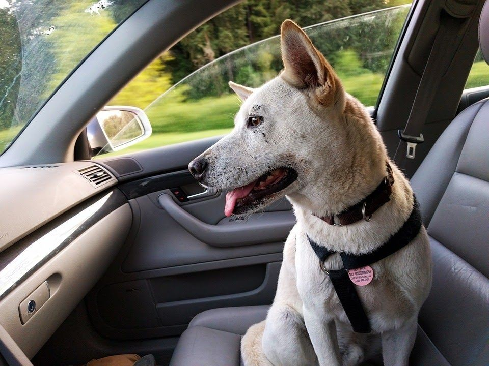 Pet traveling in a car