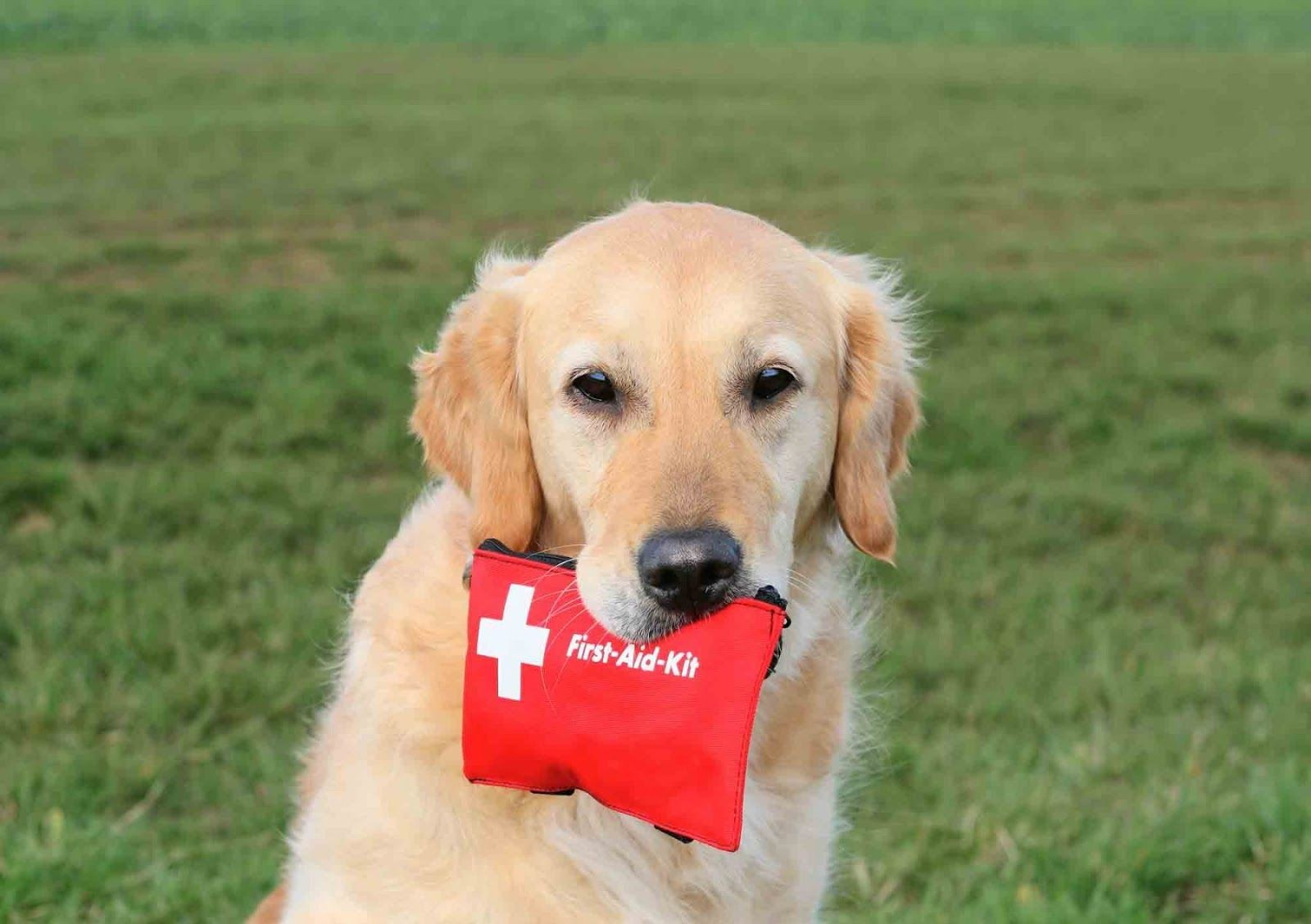 Traveling with a pet emergency kit